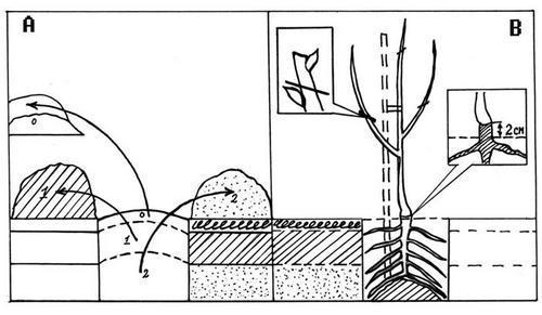 Схема посадки саженца. как посадить саженец дерева или растения.